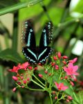 Green-banded Swallowtail by TheSleepyRabbit