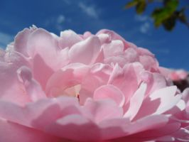 Rosy Dreams. by fishter911