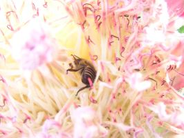 Bee dancing in Protea repens. by jellybush