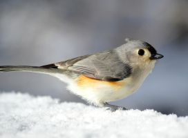 Just Another Titmouse by mozella78