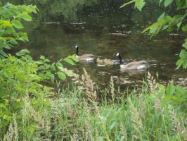 Geese and Goslings by highlyimprobable