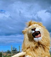 A lions meow by TheWildKid