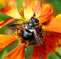 Megachile....Leafcutter Bee by duggiehoo