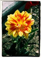 red and yellow flower :D by ToxicChick