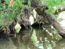 River Willows by dozalt