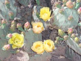 flowers of the prickly pear by we-are-the-remnants