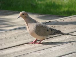 Portrait of a Dove by roamingtigress