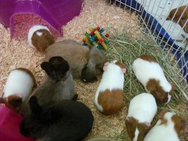 Guinea Pigs and Bunny at Store by Sunny458