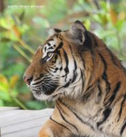 Tiger profile by MorganeS-Photographe