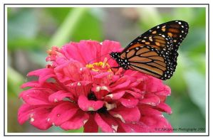 Monarch 6 by picworth1000wrds