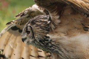 Bengal Eagle Owl Fly by by 0Iluvater0