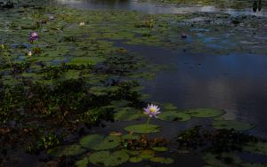 Water Lilly by CuriouserX10