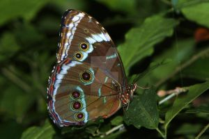 Full wing view Blue Morpho by EyeInFocus