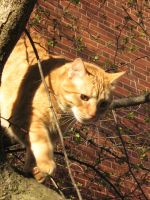orange cat coming down 2 by CotyStock