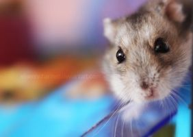 Meet my hamster by EliseEnchanted