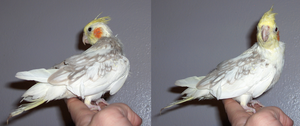New Little Tiel pics 3 and 4 by the-only-nighthawk