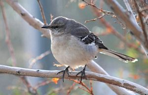 Northern Mockingbird in Winter by Monkeystyle3000