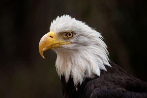 Eagle by LifeCapturedPhoto