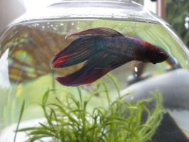 betta named omni by me-and-mojo