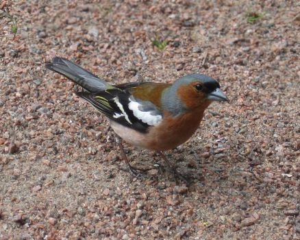 Chaffinch by MaxiValentis
