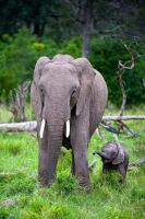 Elephant family by 00Tiger00