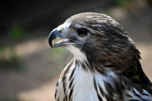 Red Tailed Hawk.2. by HecklingHyena