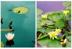 ++ waterlily +sympathy by charmbuster