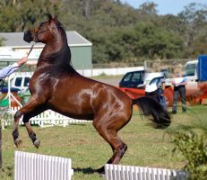 TW Arab Bay rearing/leap by Chunga-Stock