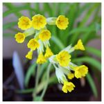 Primula V by miss-gardener