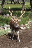 Sika/Axis Deer 1 by Nolamom3507