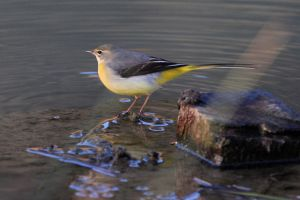 Grey Wagtail by Weekendphotographer