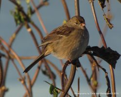 Immature Golden-crowned Sparrow by vanwaglajam