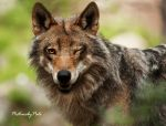 The flirting Wolf by PictureByPali