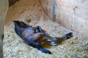 Foal Lying Down by devins-stock