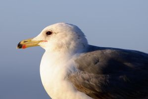 Just a Seagull by FeralWhippet