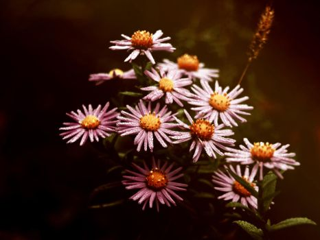 Asters by Bodghia