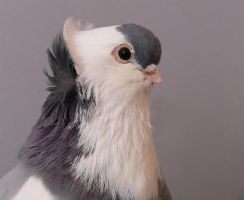 pigeon head study by purzli