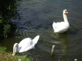 Swans by Comacold-stock