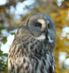 The Great Grey Owl by lemonsAndsparrows