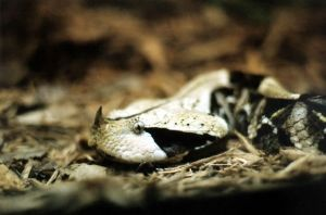 Gaboon Viper close up by sleepyhead12567
