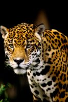 Jaguar by Art-Photo
