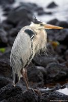 Great Blue Heron 3 by photoboy1002001