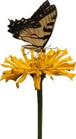 Yellow Cactus Zinnia and Butterfly by Thy-Darkest-Hour