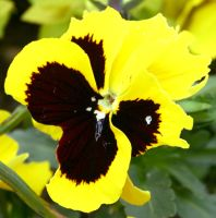 Yellow Pansy by ViperKid89