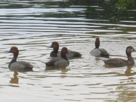 Common Pochard 19 by AxelHonoo