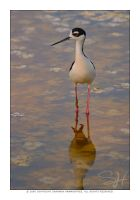 Black-necked Stilt by vividlilac