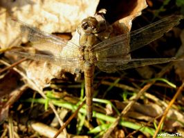 dragonfly day 2 by wolfman74