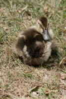 sleepy duckling by ToxicChick