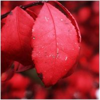 Red Leaf by barefootphotos