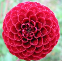 red dahlia by Finnish-Viking